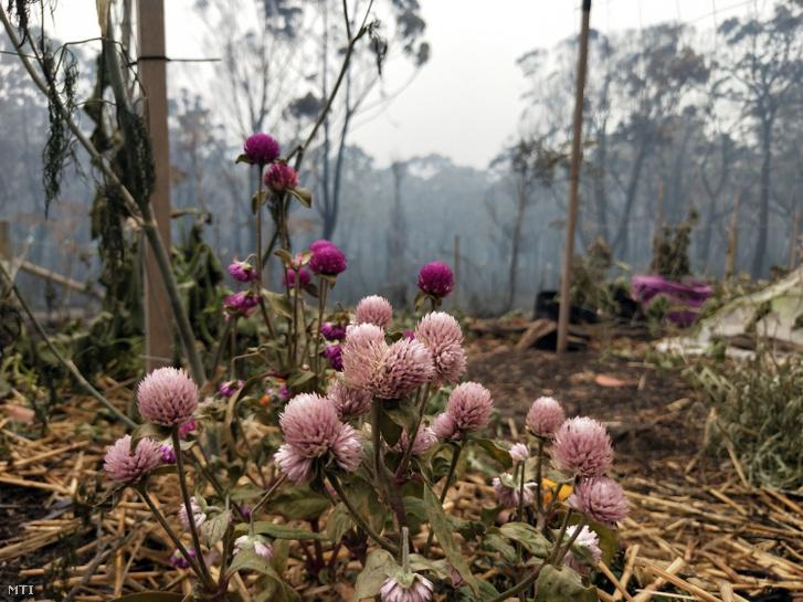 Virágok egy bozóttûz perzselte kertben az Új-Dél-Wales állambeli Wingello településen. Eddig Magyarország területénél nagyobb százezer négyzetkilométernyi földet perzseltek fel a lángok.