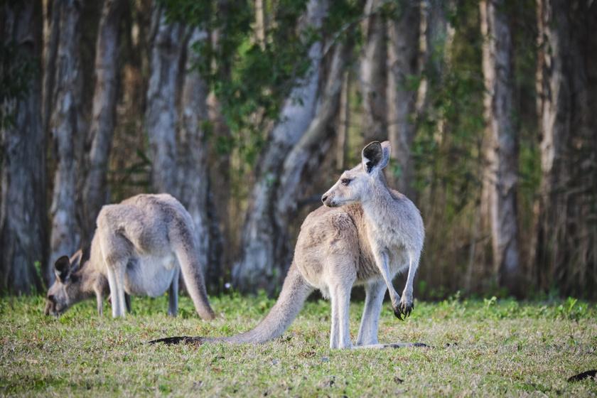 A Kenguru-sziget mindig egy megtestesült édenkert volt Dél-Ausztrália közvetlen szomszédságában, megannyi állatfajnak adva otthont. A sziget ökoszisztémája jelenleg romokban van.