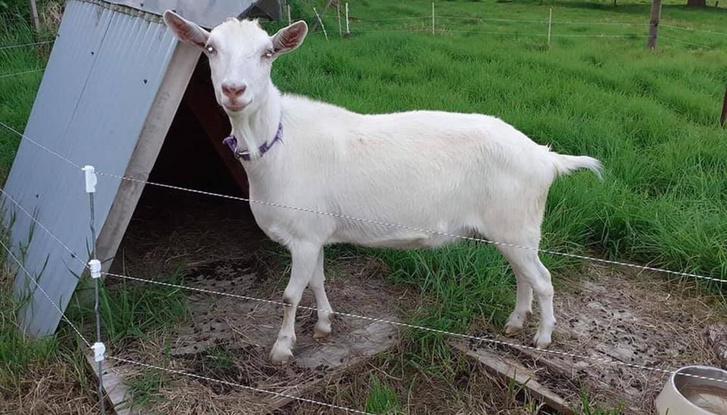 PEACHES goat facebook 1412020