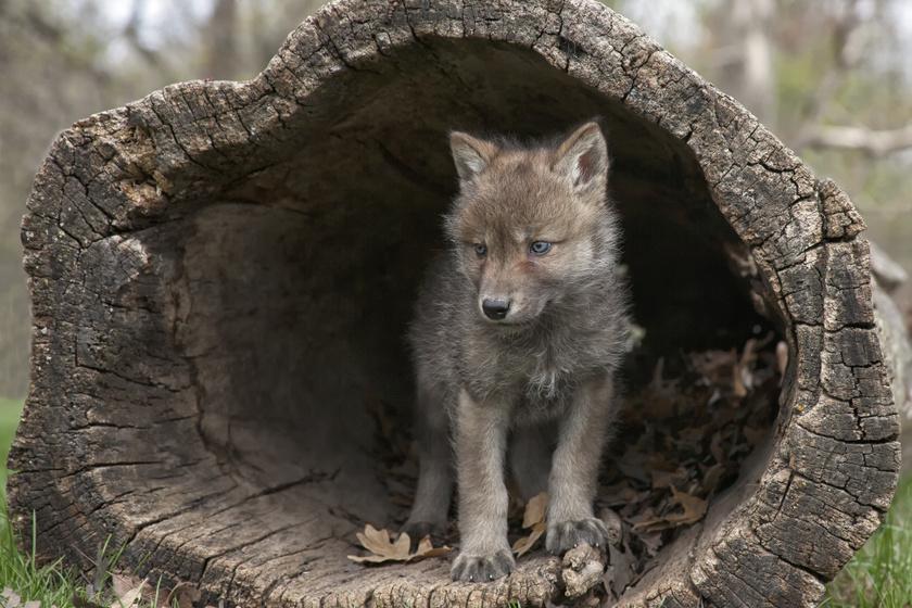 Eldobtak egy labdát a kutatók: nem számítottak a farkas reakciójára