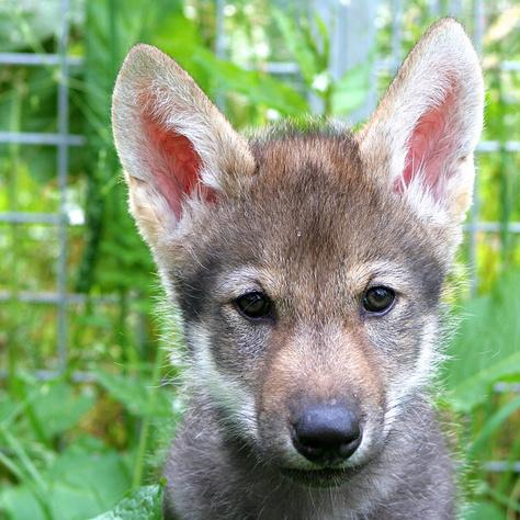 A kísérletben részt vett egyik farkaskölyök
