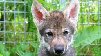 Ugyanúgy labdáznak a farkasok, mint a kutyák