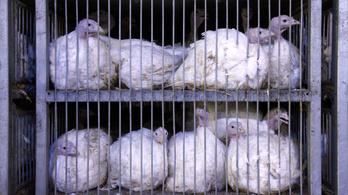 Magyar madárinfluenzás pulykahúsra figyelmeztettek Romániában a hatóságok