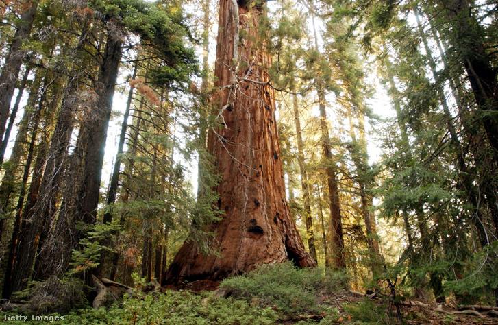 Óriás mamutfenyő a Sequoia Nemzeti Parkban