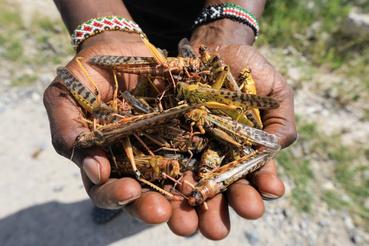 Elhullott vándorsáskákat mutat egy helyi túravezető a Shaba vadvédelmi területen az észak-kenyai Isiolo város közelében 2020. január 16-án