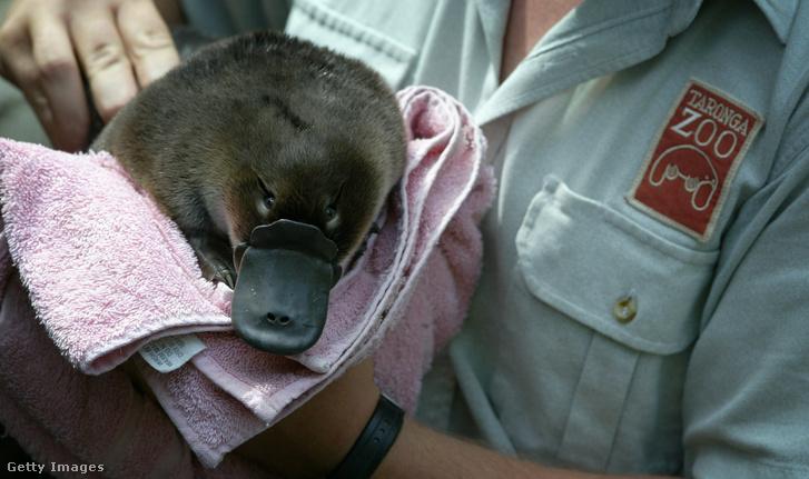 Állatkerti fogságban született kacsacsőrű emlős