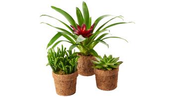 Lebomló virágcserépben árul növényeket a Spar