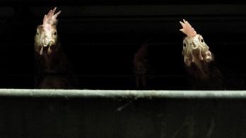 Kína egyetlen gramm baromfihúst sem hajlandó Magyarországról importálni a madárinfluenza miatt