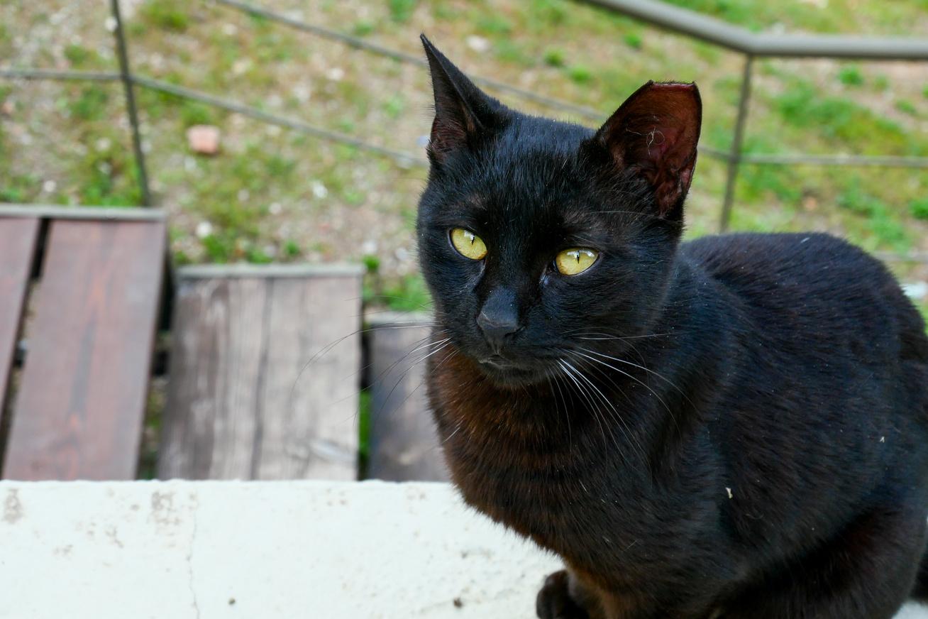 black cat cover