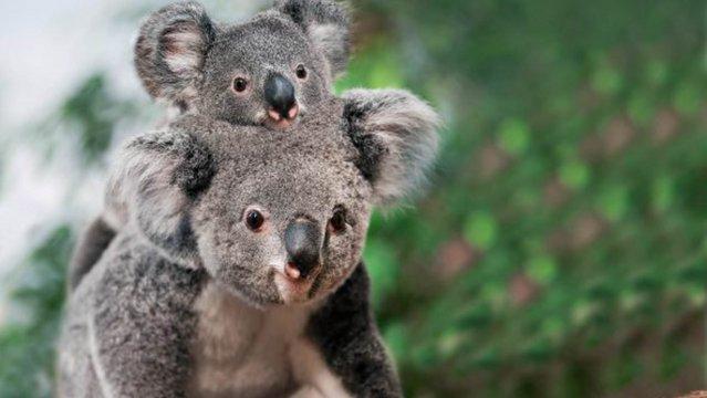A tűz előtt is a kihalás szélén álltak a koalák