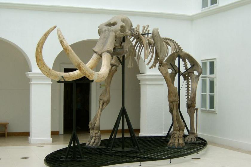 mamut csontváz