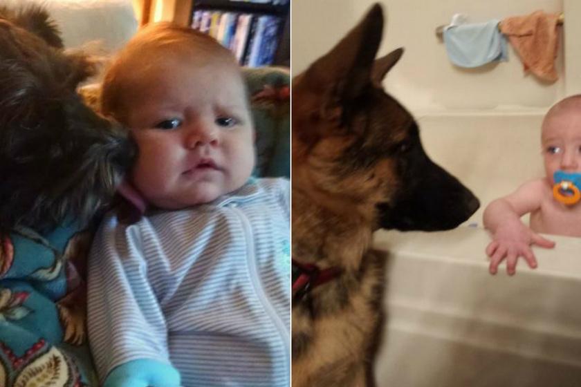 Már egészen pici korban be lehet egymásnak mutatni őket, fontos a fokozatosság. Először csak a kicsi ruháit szagoltasd meg a kutyával, utána engedd közelebb hozzá. A jobb oldali képen látható német juhász a baba minden fürdetésénél őrt állt.