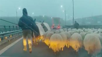 Simán felhajtotta a nyájat az autópályára a román juhász