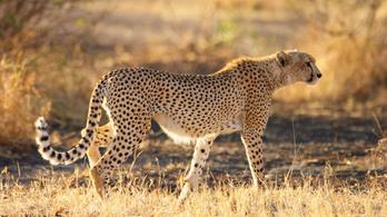 Újrahonosíthatják a gepárdot, a világ leggyorsabb szárazföldi állatát Indiában