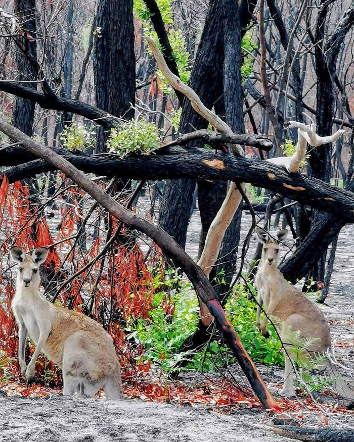 Szerencsére az óriási pusztítások ellenére számos állatnak sikerült megmenekülnie, ezek a kenguruk a hamus erdőben keresik új otthonukat.