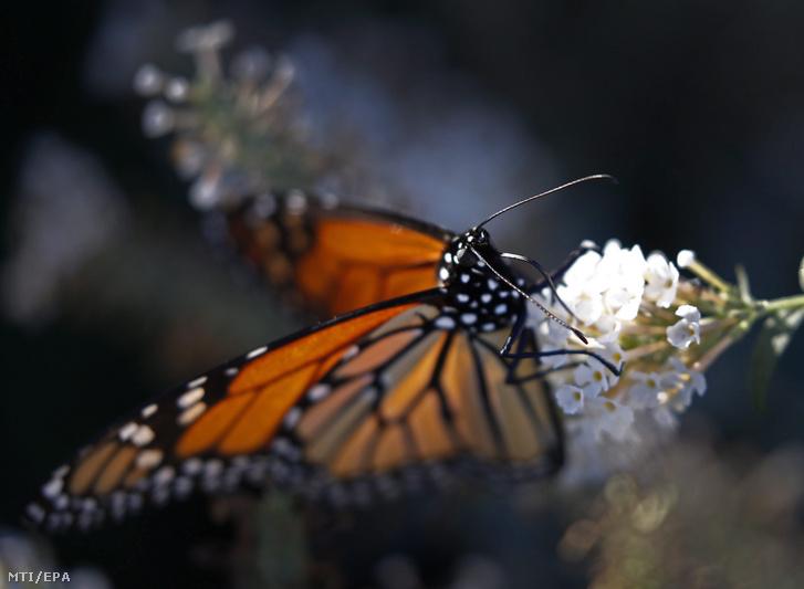 Egy királylepke (Danaus plexippus) nektárt szív egy virágból