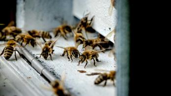 Mutáns baktériummal védik meg a méheket