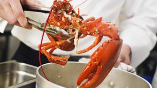 Miért főzzük még mindig élve a homárt?