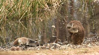 Kivágták a koalák élőhelyét, több tucatnyi meghalt