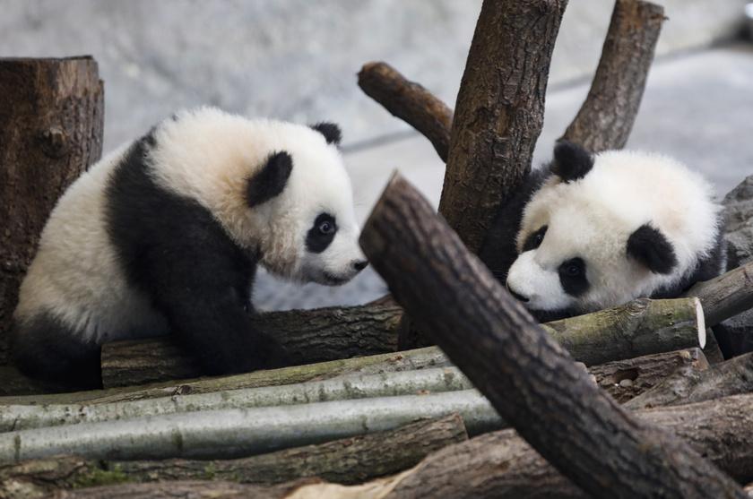 Meng Jüan és Meng Hsziang mindketten hím pandák.