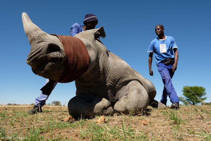 Az állatvédők azzal is próbálják az orrszarvúkat menteni, hogy lefűrészelik az állatok tülkét, megfosztva ezzel az orvvadászokat a reménybeli trófeától