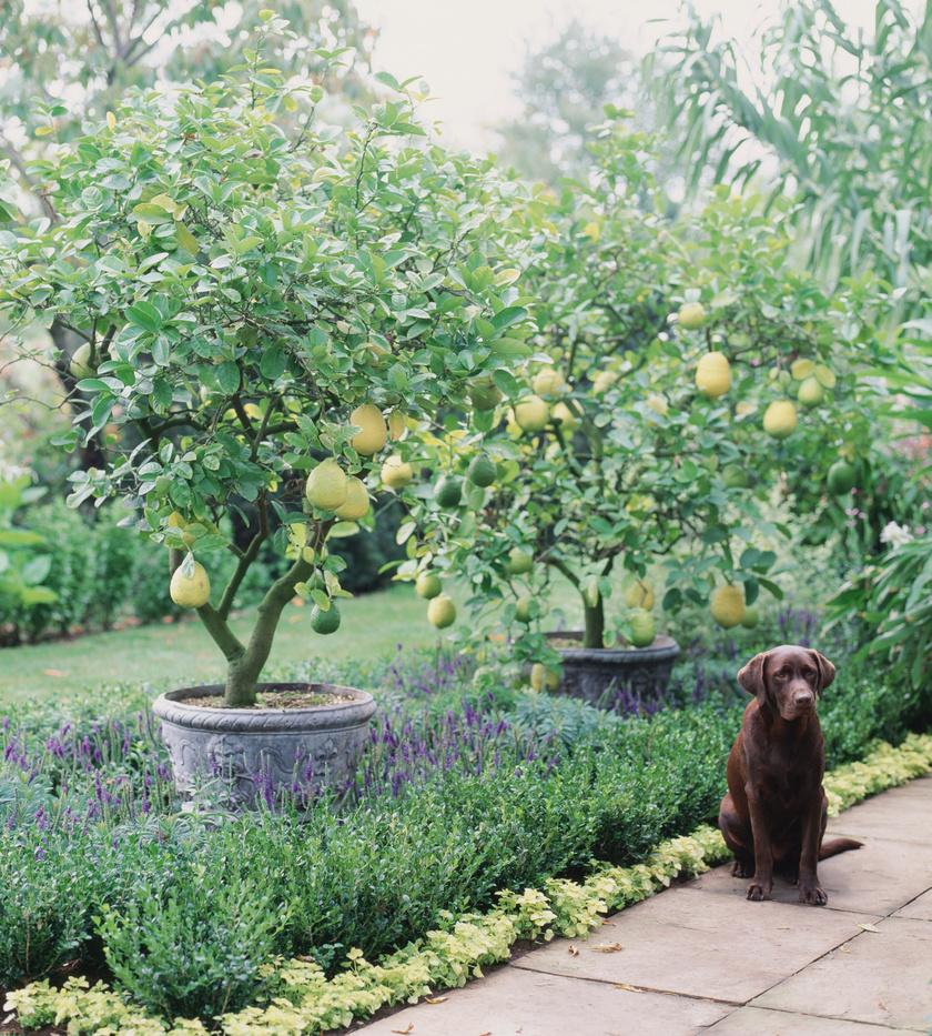 kutya-citromfa