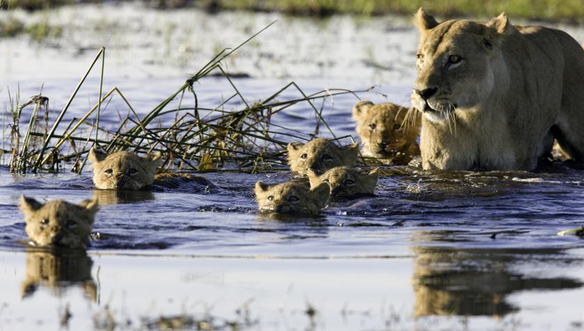 Az Okavango-delta vadvilága páratlanul gazdag, többek között oroszlánok és más macskafélék, zebrák, antilopok, bivalyok, elefántok, zsiráfok, gnúk, orrszarvúk, vízilovak is élnek itt időszakosan.