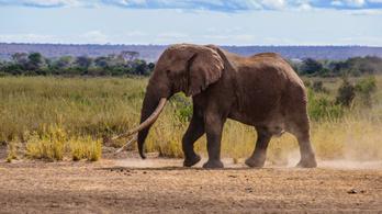 Elpusztult Nagy Tim, az utolsó óriásagyarú afrikai elefántok egyike Kenyában