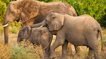 Elefántvadászatra lehetett licitálni Botswanában