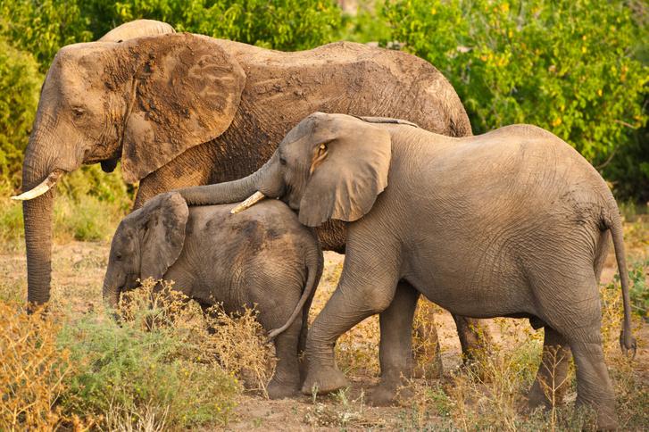 Botswanai elefántok