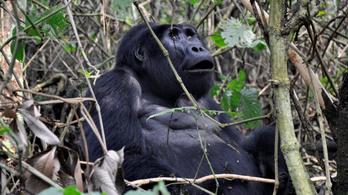Villámcsapás végzett ritka hegyi gorillákkal Ugandában