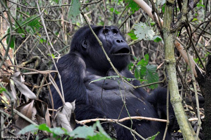 Ugandai nőstény hegyi gorilla