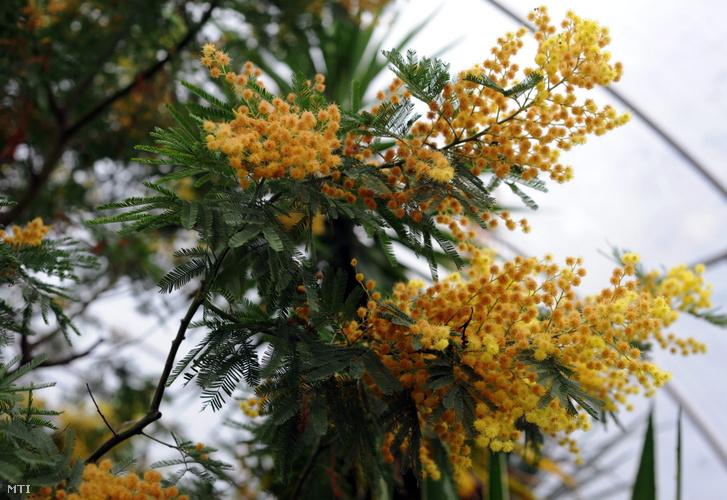 Virágok egy mimózafán (Acacia dealbata) a Szegedi Tudományegyetem füvészkertjének melegházában