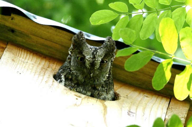 Füleskuvik tojó mesterséges odúból néz ki (Fotó: Orbán Zoltán)
