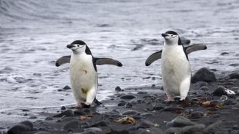 Újabb pingvinfaj száma csökkent drasztikusan az Antarktiszon a felmelegedés miatt