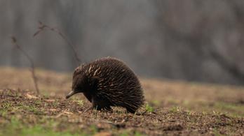 Száznál is több állatfaj igényel azonnali segítséget az ausztráliai bozóttüzek miatt