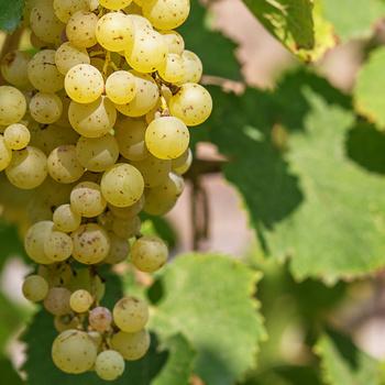Furmintból szinte bármilyen bor készíthető - A pezsgőtől kezdve az aszúig