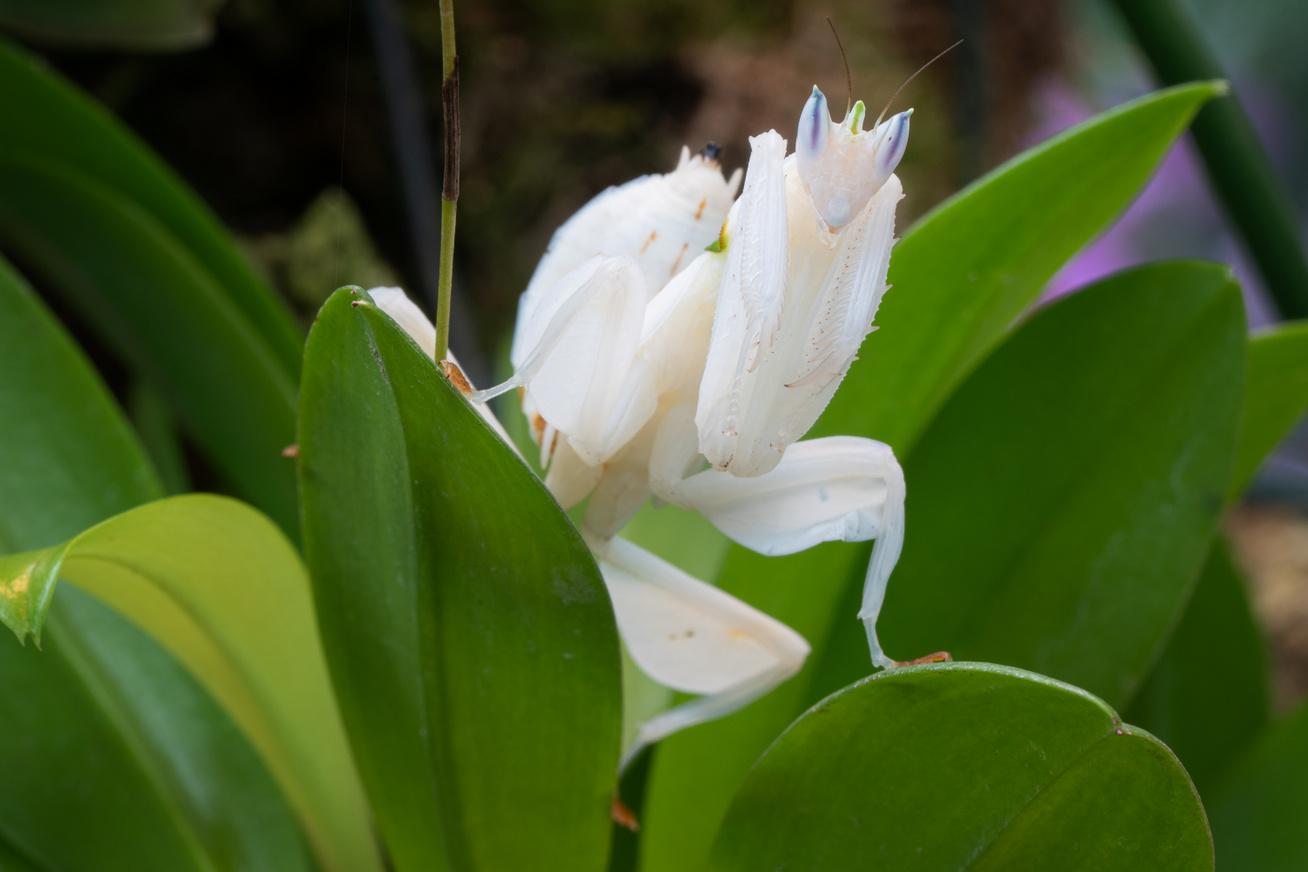 orchidea-mano