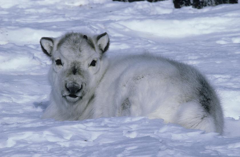 A sarkkörhöz közeli norvég szigeteken él a Svalbard rénszarvas, fajának legkisebb példánya, amely az egyméteres magasságot sem éri el. A tél közeledtével fel kell hizlalnia magát a túléléshez, ám a hóban nem könnyű élelmet találni. A cél érdekében képes változtatni a látásán és ultraviolára kapcsolni, hogy kiszúrja a nagy fehérségben rejtőző lárvákat, férgeket.