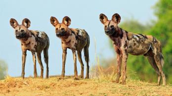 Afrikai vadkutyák szabadultak el a Ciara miatt