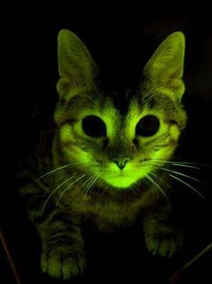Fajok közti génátvitel útján sok különös tulajdonság kialakítható. Ebbe a macskába egy mélytengeri medúza egyik génjét ültették, ezért sötétben zölden fluoreszkáló fényt bocsát ki.