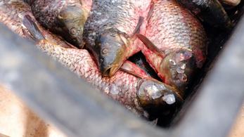 Több halat eszik a magyar