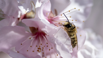 Minden évben 30 milliárd méh utazik Kaliforniába, de nem önszántukból