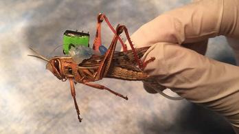 Kiborg sáskák szagolják ki a robbanószert