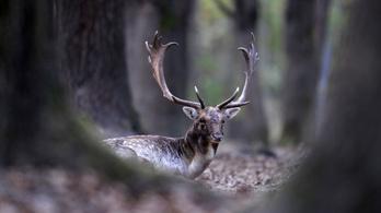 Ha agancsot talál az erdőben, ne vigye magával!