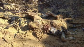 Több mint száz agyonvert kutya holtteste került elő a Hajdúsámson melletti erdőben