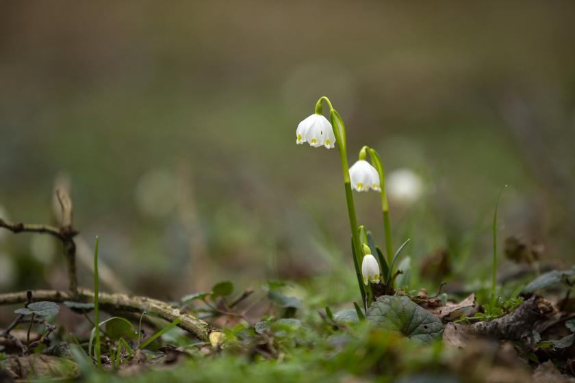 A tavaszi tőzike eredeti elterjedési területe a Pireneusoktól Belgiumig, keletre pedig egészen Ukrajnáig tart.