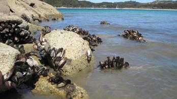 Több százezer kagyló főtt meg élve az új-zélandi hőhullámban