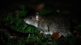 A patkányok körül összpontosul a párizsi polgármester-választási kampány