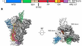 Feltérképezték a koronavírus fertőzéshez elengedhetetlen fehérjéjét